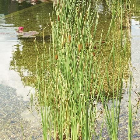 Rośliny do stawu kąpielowego